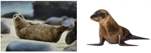 "Seal or Sea Lion?: When attempting to identify an animal as either a true seal (Phocid) or a fur seal or sea lion (Otariid), it is best to determine the animal's mode of terrestrial locomotion. Remember the general rule: true seals are like slugs; fur seals and sea lions are like bears. True seals are like slugs because they cannot rotate their hind flippers forward to ""walk"" on land or ice as fur seals or sea lions do. Instead, they move by hunching the body like an oversized slug. Fur seals and sea lions use both hind and fore flippers to walk on land just like bears and other land mammals. Information from pacificmmc.org."