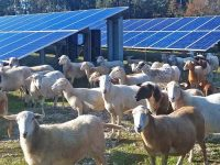 C2 Energy Capital to scale up its sheep grazing vegetation maintenance program