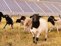 Schools partner on solar project, use sheep to maintain fields