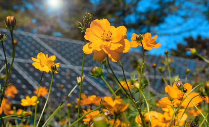Cosmos flowers and solar panels